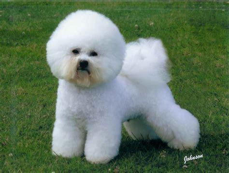 dogs wiki bichon frise sakc dogs wiki