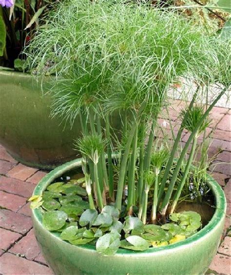 jual tanaman dwarf papyrus  lapak bb plant bbplant