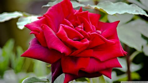 rose royal download royal william rose wallpaper 1920x1080