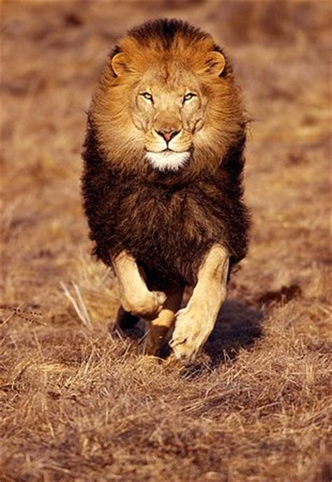 google images lion male lion running google search inspiration
