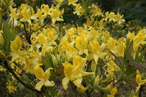 Rhododendron Sonniger Standort by Azalea Pontica Faszinierende Rhododendren Und Azaleen