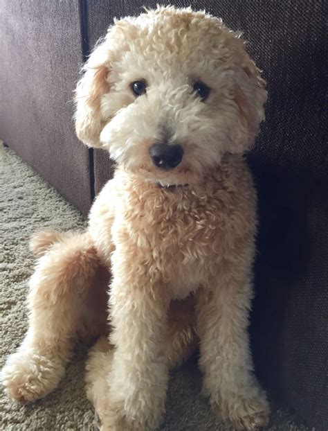 goldendoodle puppy toys goldendoodle www pixshark images galleries