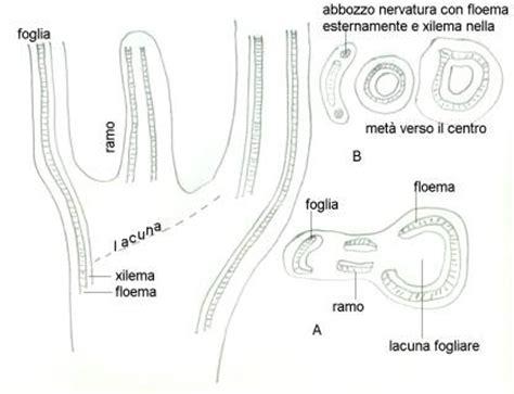 lacuna dei vasi botanica generale cormobionta