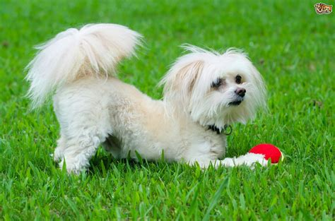 breed information maltipoo breed information buying advice photos and facts pets4homes
