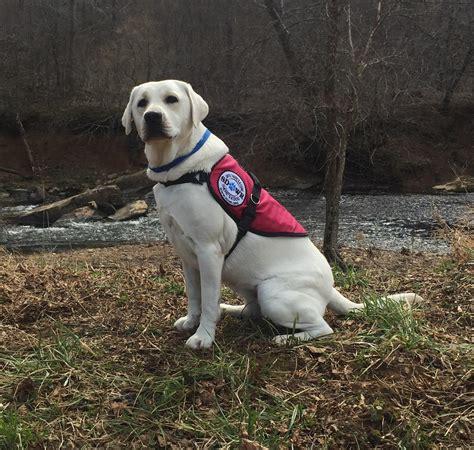 diabetic service dogs service dogs by warren retrievers delivers diabetic alert
