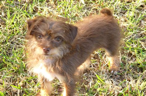 lifespan of chihuahua poodle mix chipoo