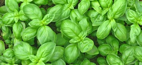 come si pianta il basilico in vaso come coltivare il basilico e le sue proprieta verde