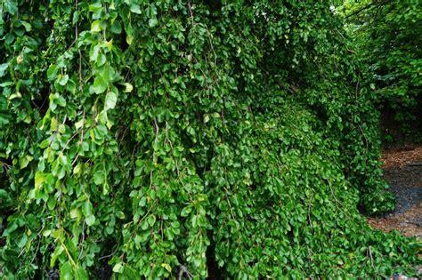 b ror ume kaufen rotbuchenhecke kaufen heckenpflanzen kaufen fagus