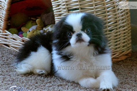 japanese chin puppies for sale near me japanese chin puppy for sale near grand island nebraska ae5f5cea ad41