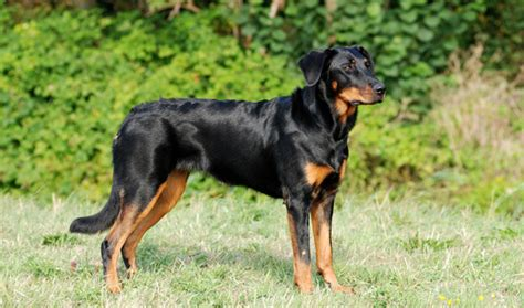 beauceron puppies beauceron breed information