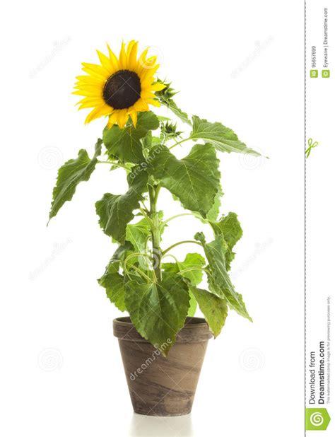 girasole in vaso girasole in vaso di fiore isolato immagine stock