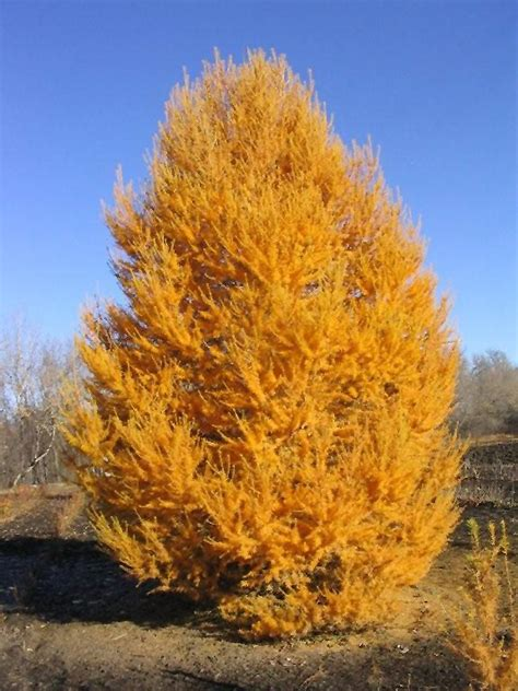 Planting A Garden In The Fall - oasis siberian larch larix sibirica durcarl in winnipeg headingley oak bluff manitoba mb at