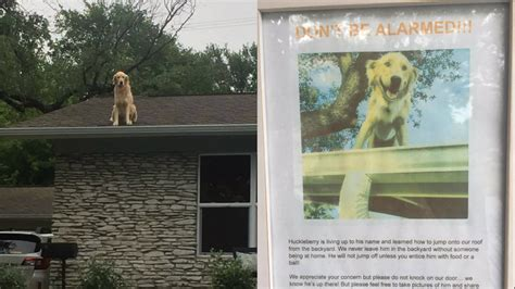 dog on the roof this awesome golden retriever loves hanging out on the roof