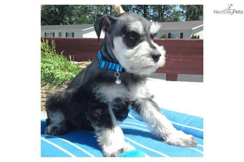 black and silver miniature schnauzer puppies schnauzer miniature puppy for sale near fort wayne indiana 284ad78d 2461