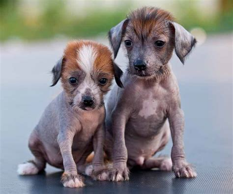 all small breeds small puppy breed goldenacresdogs
