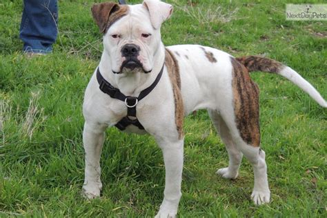 bulldog puppies for sale in california puppies for sale from brickhouse american bulldogs of central california member