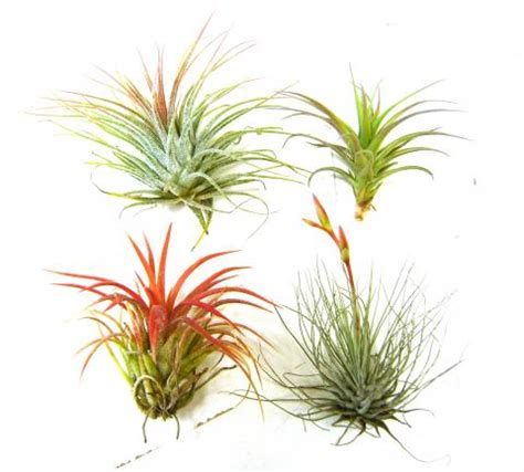 different forms of tillandsia air plants different sizes colors types available dendroboard