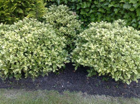 osmanthus goshiki google search deer resistant sun evergreen shrubs for md dc va