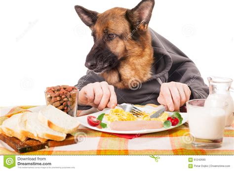 dog only eats from hand funny german shepherd dog with human hands eating scrambled egg stock photo image 61242690