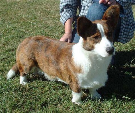 corky hund 애견정보의 달인 똘배 웰시코기 귀여운 강아지의 대명사 웰시코기