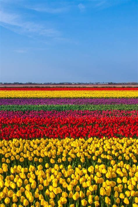 tulip field 17 best images about keukenhof on pinterest gardens the
