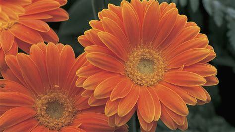 significato fiori gerbera gerbera significato cura e coltivazione della pianta di