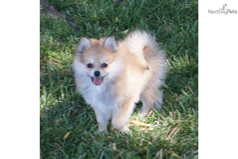 pomeranian puppies for sale missouri pomeranian husky puppies for sale in missouri breeds picture