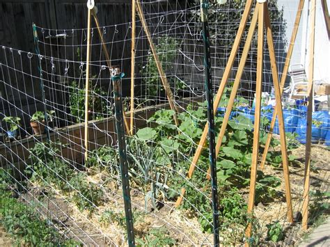 squash trellis backyard farming growing winter squash vertically