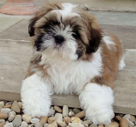 shih tzu montreal adorable chiot shih tzu a donner achat vente animaux montr 233 al le grand garage