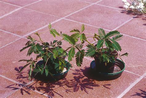 mimosa coltivazione in vaso acacia mimosa consigli coltivazione e cura