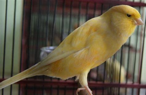 Obat Cacing Burung Kenari kuning sering katarak kenari canary