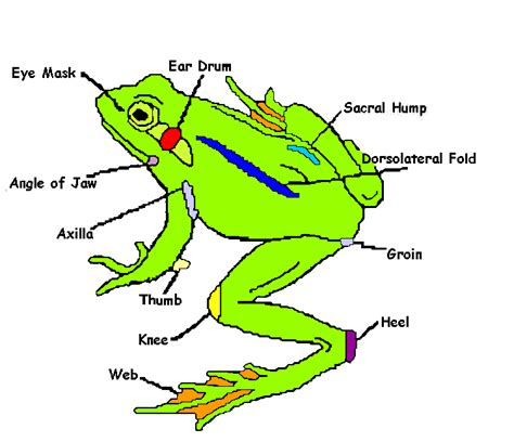 frog diagram frog parts new calendar template site