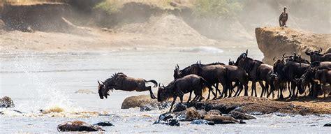 thousands  serengeti wildebeest  drown  year serve  greater purpose