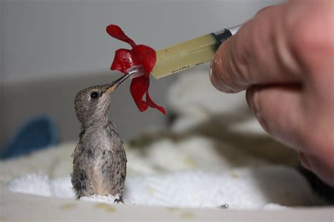 baby hummingbirds pictures google search baby animals