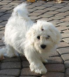derby city havanese 1000 images about dogs havanese on havanese puppies abyssinian cat and