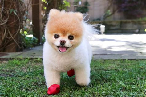 is boo the a pomeranian boo of the web ferplast