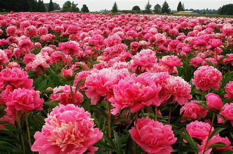 pink peonies nursery flowers similar to peonies weddingbee