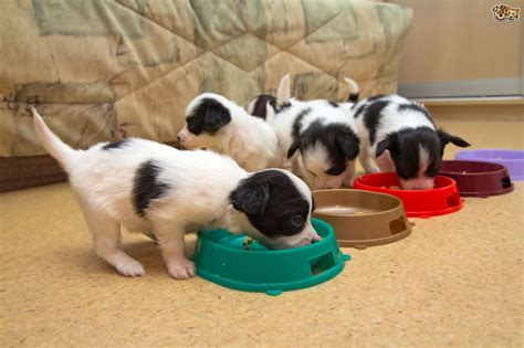 when to switch puppy to food how when to switch puppies to food pets4homes