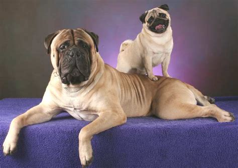 mastiff and pug mix everything about your bullmastiff my dogs