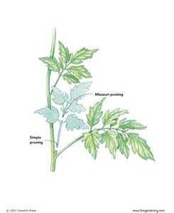 Tomato Plant Stem Disease - prune those tomato suckers big blog of gardening