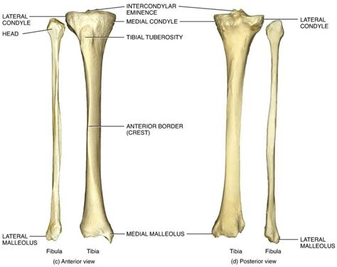 anatomy bones tibia bone anatomy human anatomy system