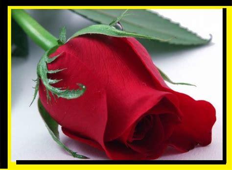 imagenes rosas muy hermosas figuras de rosas rojas para sorprender a la pareja