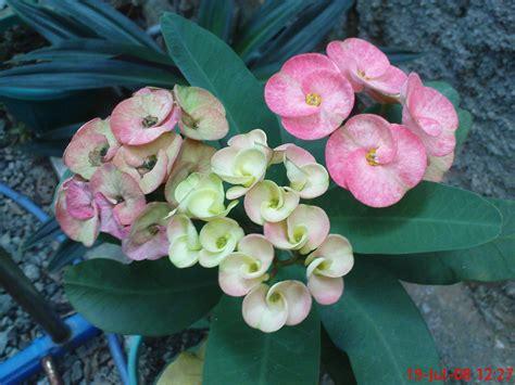 Pupuk Bunga Euphorbia tanaman hias daun dan tanaman hias
