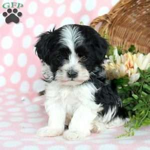 havanese puppies maryland havanese puppies for sale in pa md ny nj