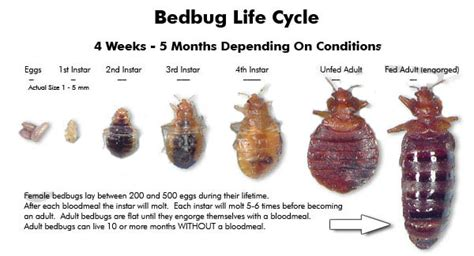 How Bed Bugs Live by How To Get Rid Of Bed Bugs Fast