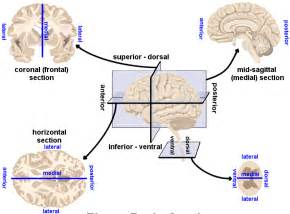 human brain directions cross sections and divisions