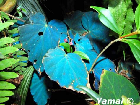hue ology your weekly color inspiration peacock blue begonia pavonina g begonias pinterest