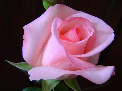 immagine fiore rosa foto gratis per sfondi
