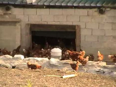 alimentazione galline ovaiole biologiche l allevamento della gallina ovaiola