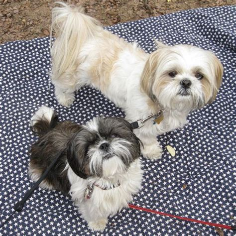 different types of shih tzu dogs different kinds of shih tzus types of small dogs that are so you ll cry with